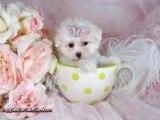Maltese puppies - look how cute!