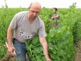 Domaine du Vissoux Juin 2011 - Relevage, rognage et croissance du raisin