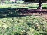 arrivée des beagles sur la mort du renard