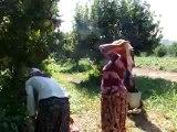 Geyve Umurbey Köyü Elma Hasatı