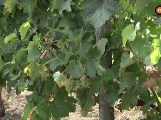 Archiac, ou les saveurs de la vigne...