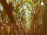 Une étude dénonce la toxicité du maïs transgénique...