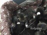 Chat Sibérien chatons de DomiAgat 2011-a