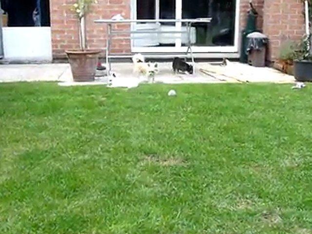 chihuahua à 9 semaines et 4 jours