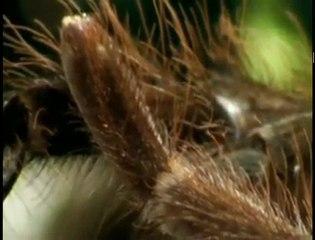 Deadly Tarantula Courtship