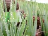 Traiter la peau déshydratée - Aloe vera - Actif Pur - Etat Pur