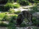 Parc de Sainte-Croix - Les loups gris par Kinou