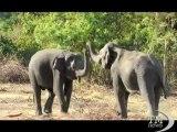 Sri Lanka, elefanti minacciati: arriva il censimento. Primo grande studio sui pachidermi, ma c'è chi si dissocia