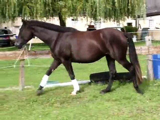 Un Amour de Noé (WK) -poney  3ans A Vendre - par Don Ricoss (Han) Astryd des Chouans (WD)