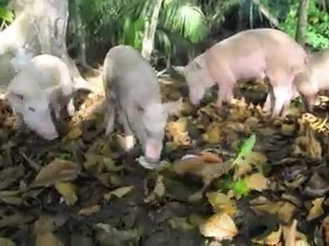 Sao Tome et Principe - Les cochons de Principe