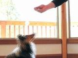 Commandement Assis monter au chien à s'assoir- information animal