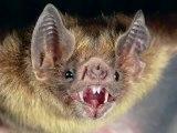 Vampire Bat: What Steers Vampires to Blood  WWW.GOODNEWS.WS