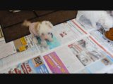 BB Chiens Chinois - Chinese Crested - Ch. Genji Little Champs X Fluffy Little Champs