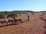 Doudou Gallack des Terres de Tulicaine au troupeau