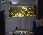Un chat aime regarder ( manger ? ) les poissons d'aquarium