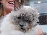 Le chat à deux têtes le plus vieux - Record du monde 2012