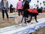 """Même les chiens ont leur championnat de surf. C'est en Californie, le """"Surf City Surf Dog"""" réunit chaque année des surfeurs à quatre pattes"""