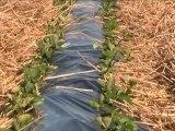 Herve gouge producteur de fraises biologiques à Y dans le canton de Ham dans la Somme