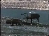 Grizzly vs Caribou