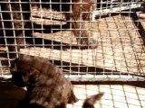 chiots bonny élevage de VALOYAN TERRE NEUVE MARRON BRONZE 23.10.2011