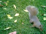 Écureuils peu farouches du Mont-Royal - Friendly squirrels in Mont-royal