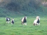 juments irish cob au galop