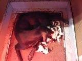 1ère tétée de chiots Braque Allemand à l'Elevage de Champréval