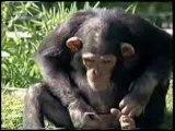 Beurk! quand un monkey a soif