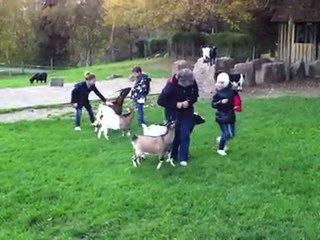 Les chèvres calines