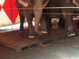Les éléphants du cirque Arlette Grüss