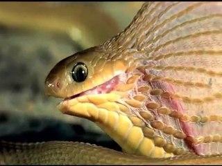 Serpent et un lourd repas