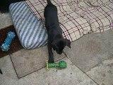 Chiot dogue allemand 29/08/06