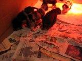 chiots dogues Allemands à  24 jours. Elevage des Varennes Mystiques