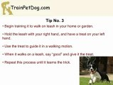 English Springer Training: Train It To Walk In The Park, Without Pulling