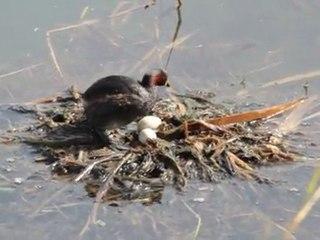 un grèbe castagneux sur son nid