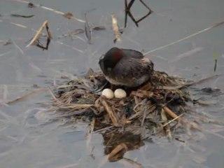 un couple de grèbes castagneux et un nid