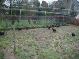 Elevage de poules marans philippe Denis Ciney Belgium la poule au oeufs d'or