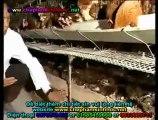 Đệm lót sinh học - đệm lót sinh thái - đệm lót lên men với chế phẩm sinh học balasa chăn nuôi gà 2