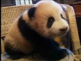 Un bébé panda grandit à vitesse grand V