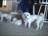 CUTE PUPPIES - 8 Weeks Old- Puppies vs Cat