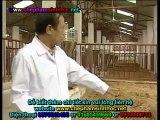 Đệm lót sinh học - đệm lót sinh thái - đệm lót lên men với chế phẩm sinh học balasa trong chăn nuôi lợn, heo