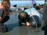 Pilot whales beached on Farewell Spit, New Zealand