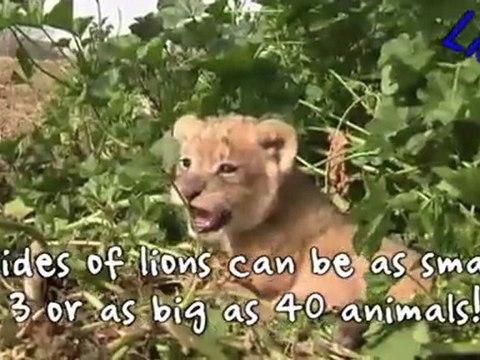 Lions vs Tigers
