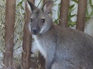 Un wallaby capturé dans la campagne avesnoise recueilli par le zoo de  Maubeuge sur Orange Vidéos 78b31588824