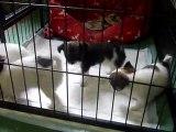chihuahua à 6 semaines 2012