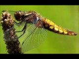 La libellule émeraude