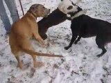 Ganesh: Dogue allemand de 4 mois 1/2 dans la neige avec ses amis =)