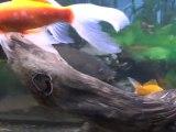 Mon aquarium de poissons sauvages et de poissons rouges .