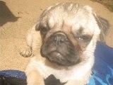 Pug puppy /Chiot Carlin photo de ses 1 mois a ses 5 mois