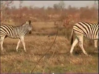 Zebra 01 - South Africa Travel Channel 24